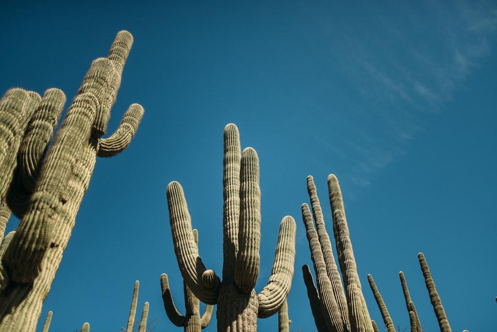 Tempe, Arizona Cacti
